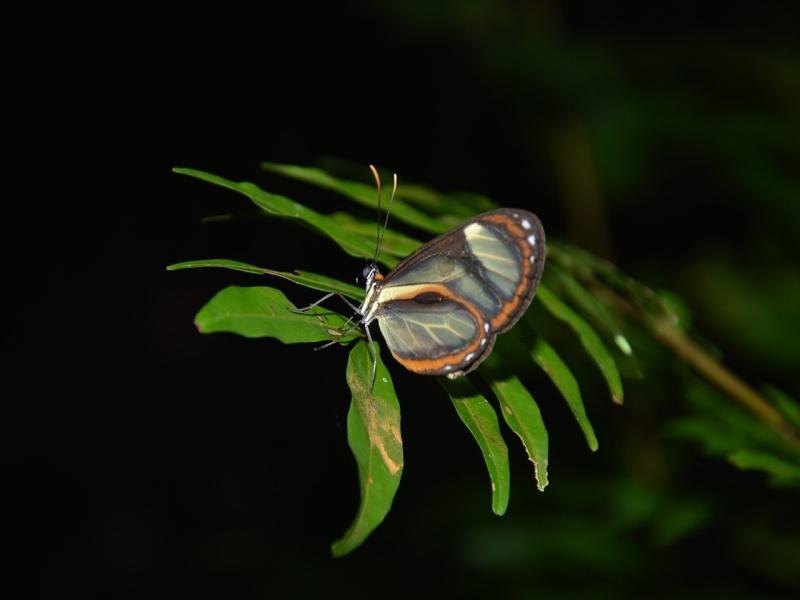 amazonas Schmetterling