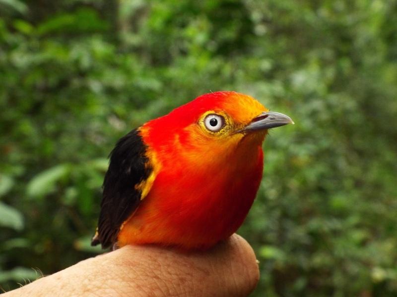 vogel amazonas